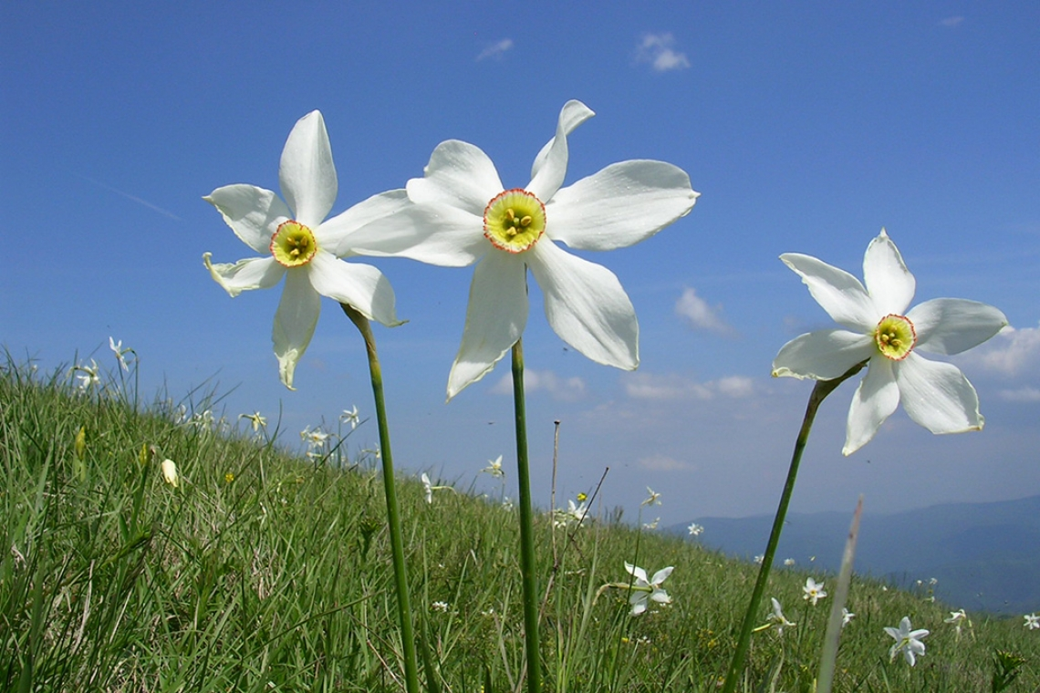 In honor of Narcissus flowers, Stolovi mountain